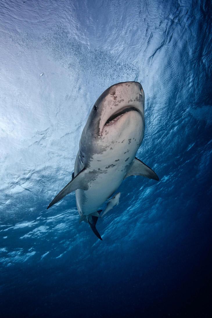 2. Самые древние представители акул существовали уже около 420—450 млн лет назад. Это очень давно. (