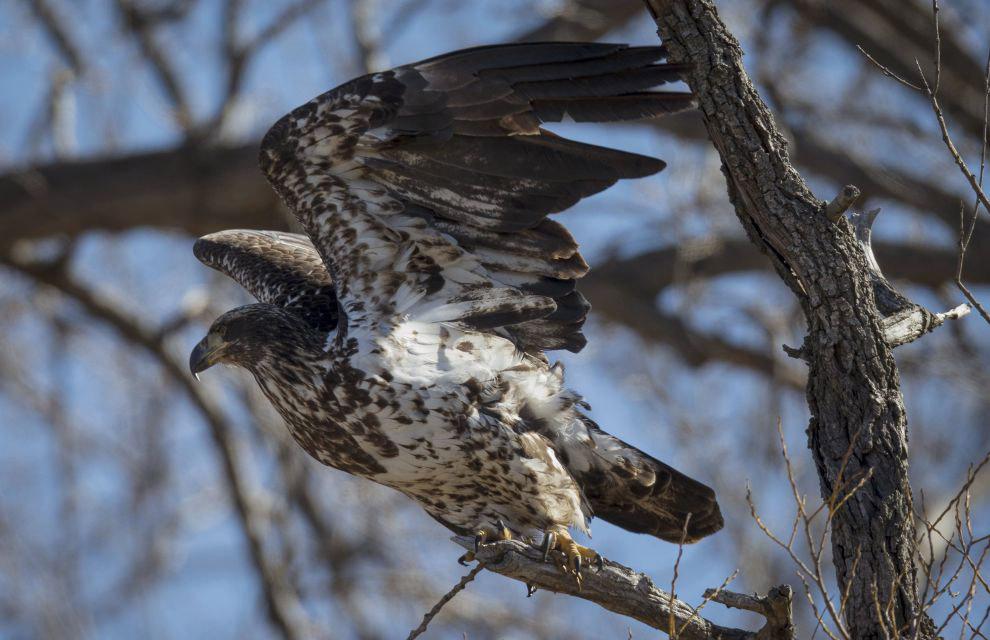 9. Как и другие орланы, белоголовый питается преимущественно рыбой, хотя также охотится на некр