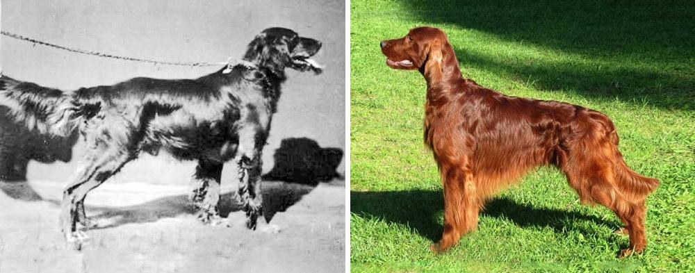 Порода почти неизменилась за150 лет (черно-белая фотография сделана в1879году). Сеттеры стали не