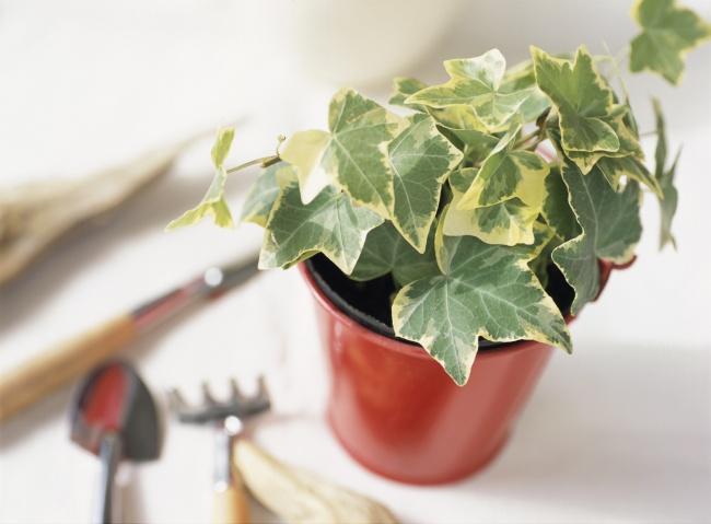 Это растение— отличный выбор для комнат снебольшой освещенностью. Эффективно удаляет трихлорэтилен