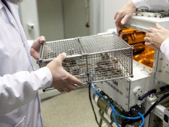 Роскосмос запустит наорбиту мышей имух сцелью исследования радиации