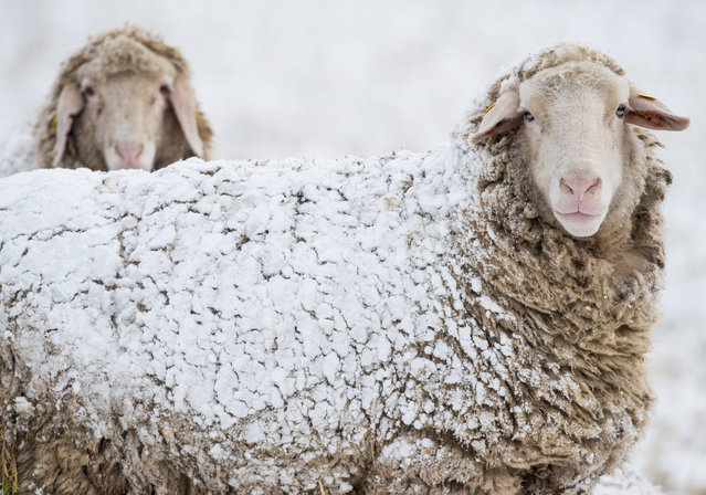 Sheep are covered with snow on a meadow near Sieversdorf, Brandenburg, Germany, 01 March 2016. March