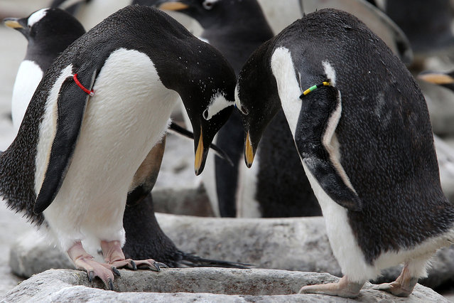 Gentoo penguins move pebbles to their nest after keepers placed them in a large heart-shape to celeb