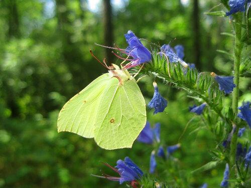 Бабочка лимонница на лесных цветах