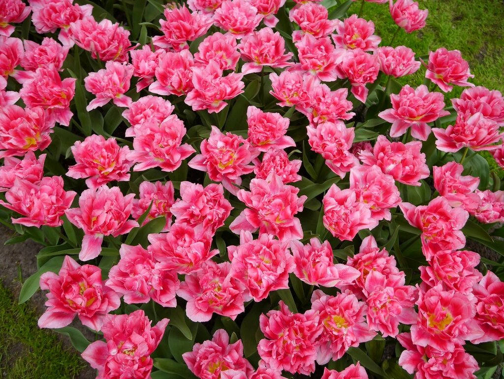 Tulips_Many_Pink_color_460430.jpg