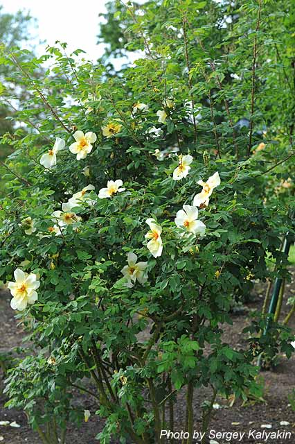 Rosa Fruehlingsgold (33).jpg