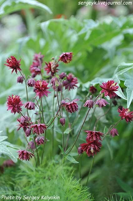 Aquilegia vulgaris Ruby Port (4).JPG