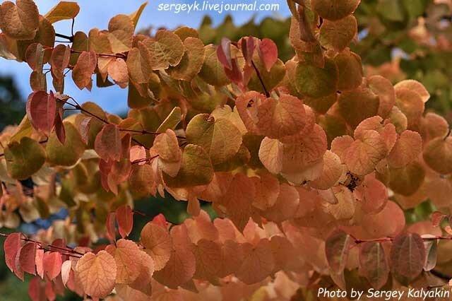 Cercidiphyllum japonicum.JPG