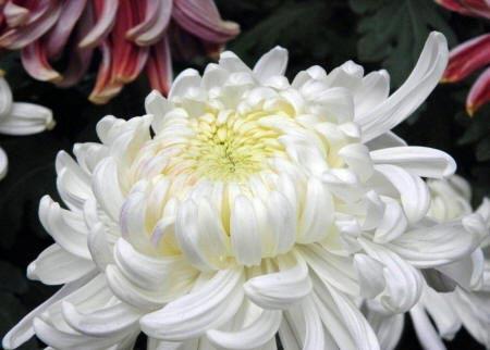 біла хризантема