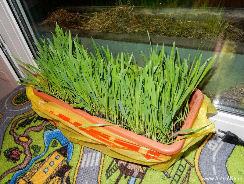 Выросла травка большая-пребольшая, зелёная и сочная. И принесли эту травку котам в пользование.
