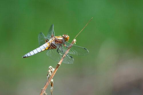 Семейство Libellulidae Самец Автор фото: Владимир Брюхов