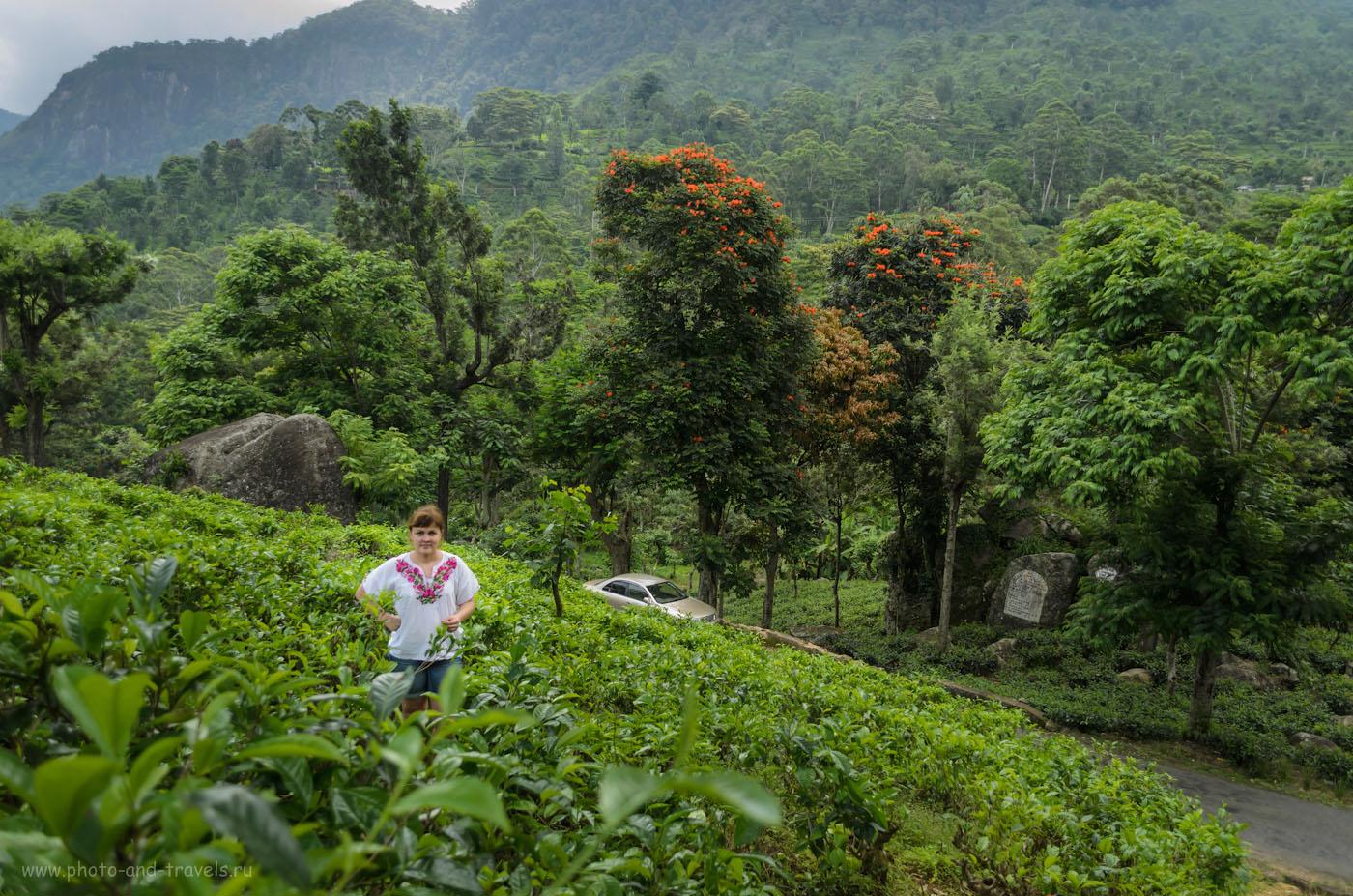 Фото 5. На чайных плантациях Шри-Ланки. Отчет о самостоятельной поездке на Пик Адама. Тур по острову на машине, взятой в аренду. Отзывы туристов.