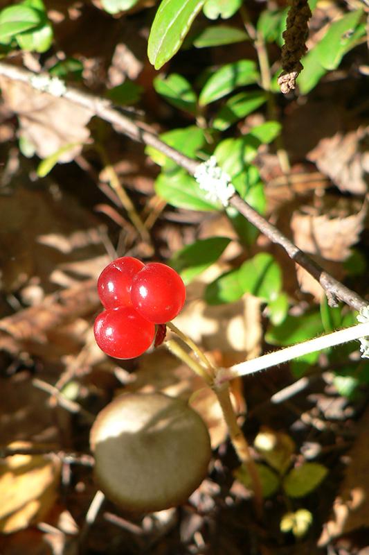 осень 1 4 костяника