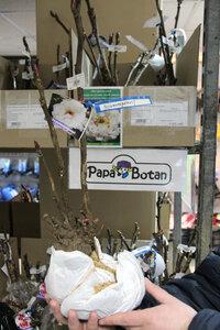 Древовидные пионы из Японии — сегодня в продаже! В розничных магазинах и интернет-магазине.