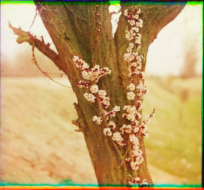 Цветы абрикоса урюк 21864u.JPG