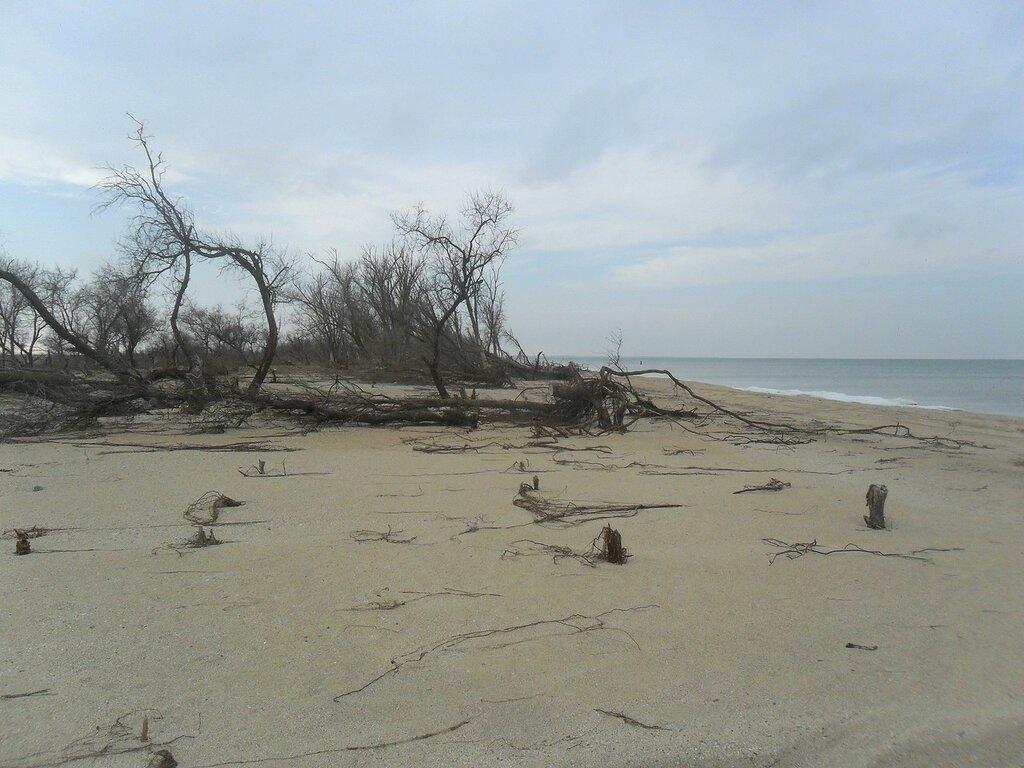 Деревья на прибрежном песке... SAM_5612.JPG