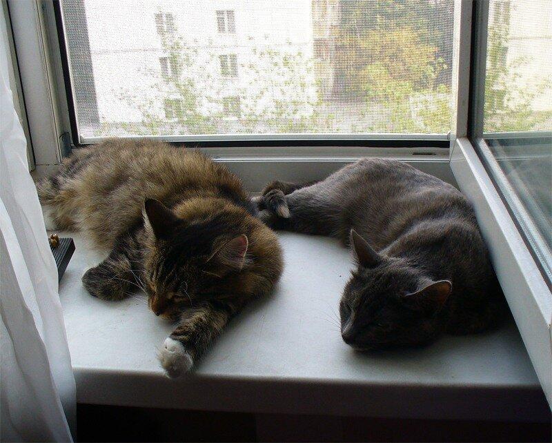 Кошки спят у окошка, август 2010
