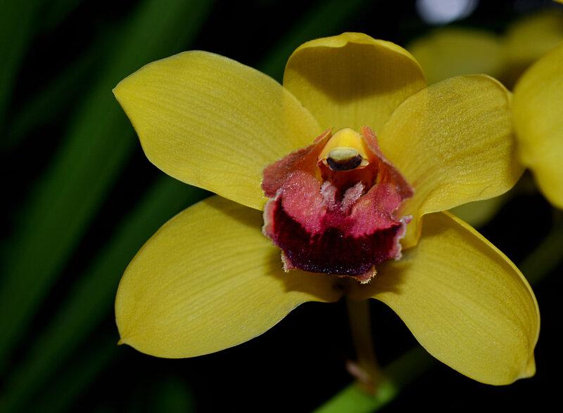 Орхидеи- бабочки, которые не летают Желтая бабочка