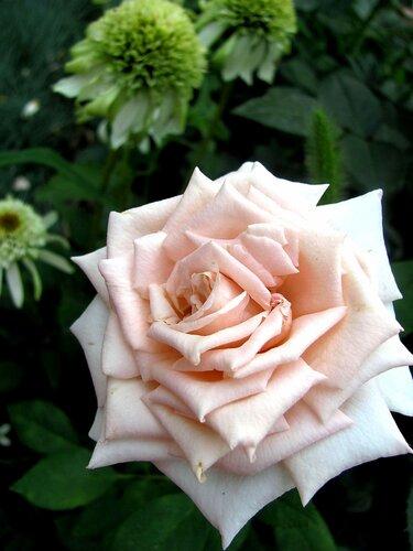 ���� �����-��������� Creme Caramel (���� �������) Fryer's Roses 2008
