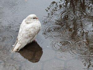 Вспоминая дождь (голубь, лужа, птица)