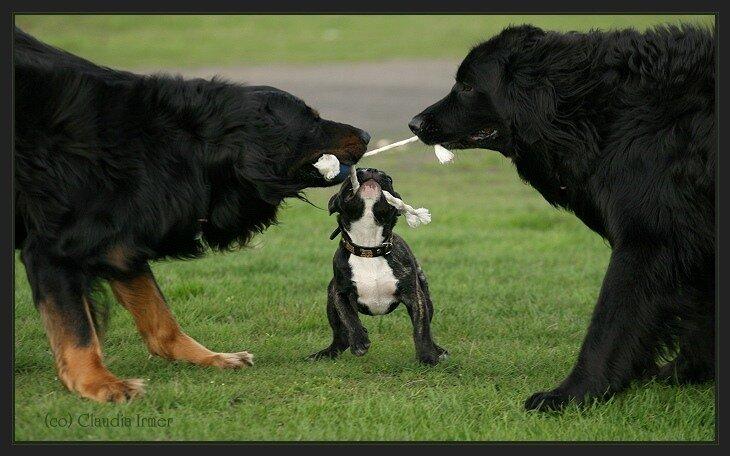 собаки играют кто кого перетянет