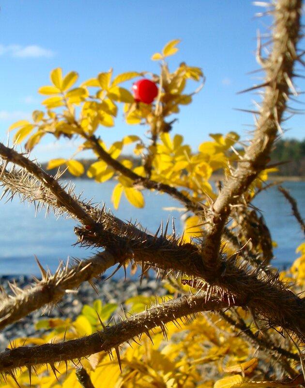 КОЛЮЧКИ, ОБЖИВШИЕ БЕРЕГ МОРСКОЙ (ШИПОВНИК КОЛЮЧИЙ (Rosa spinosissima)