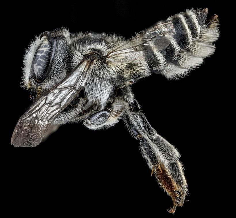 Макрофотографии разноцветных американских пчел 0 13d2b8 d906022b orig