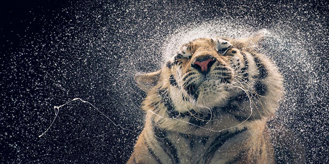 Бенгальская тигрица по имени Канья.