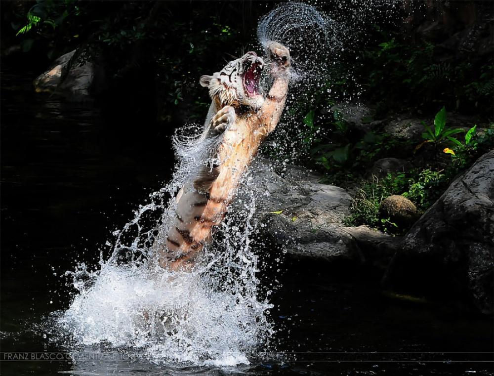 ©Franz Gementiza Апперкот белого тигра.