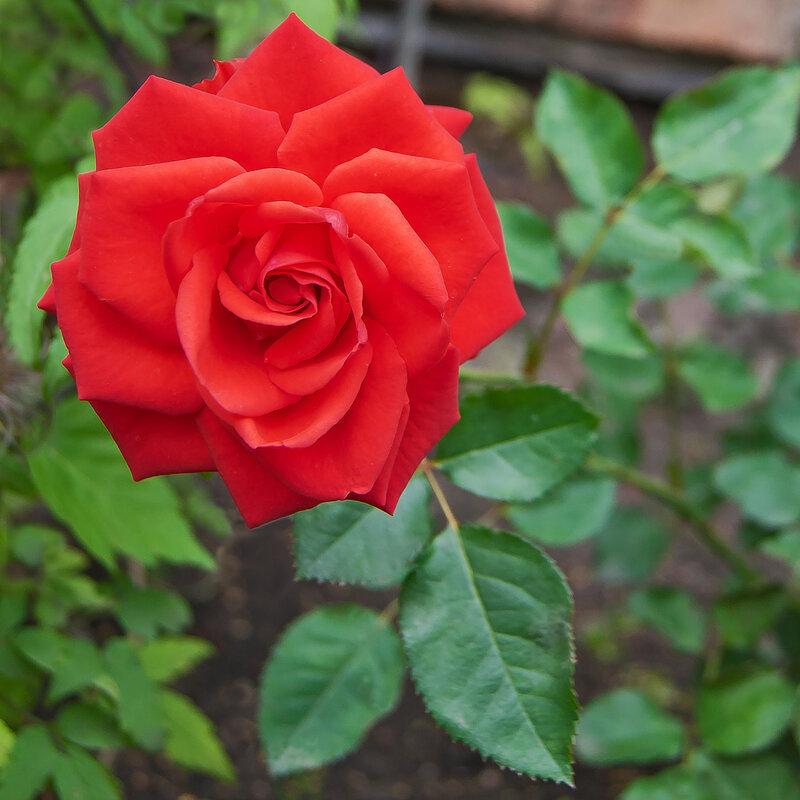 Как сделать так чтобы розы распустились быстрее