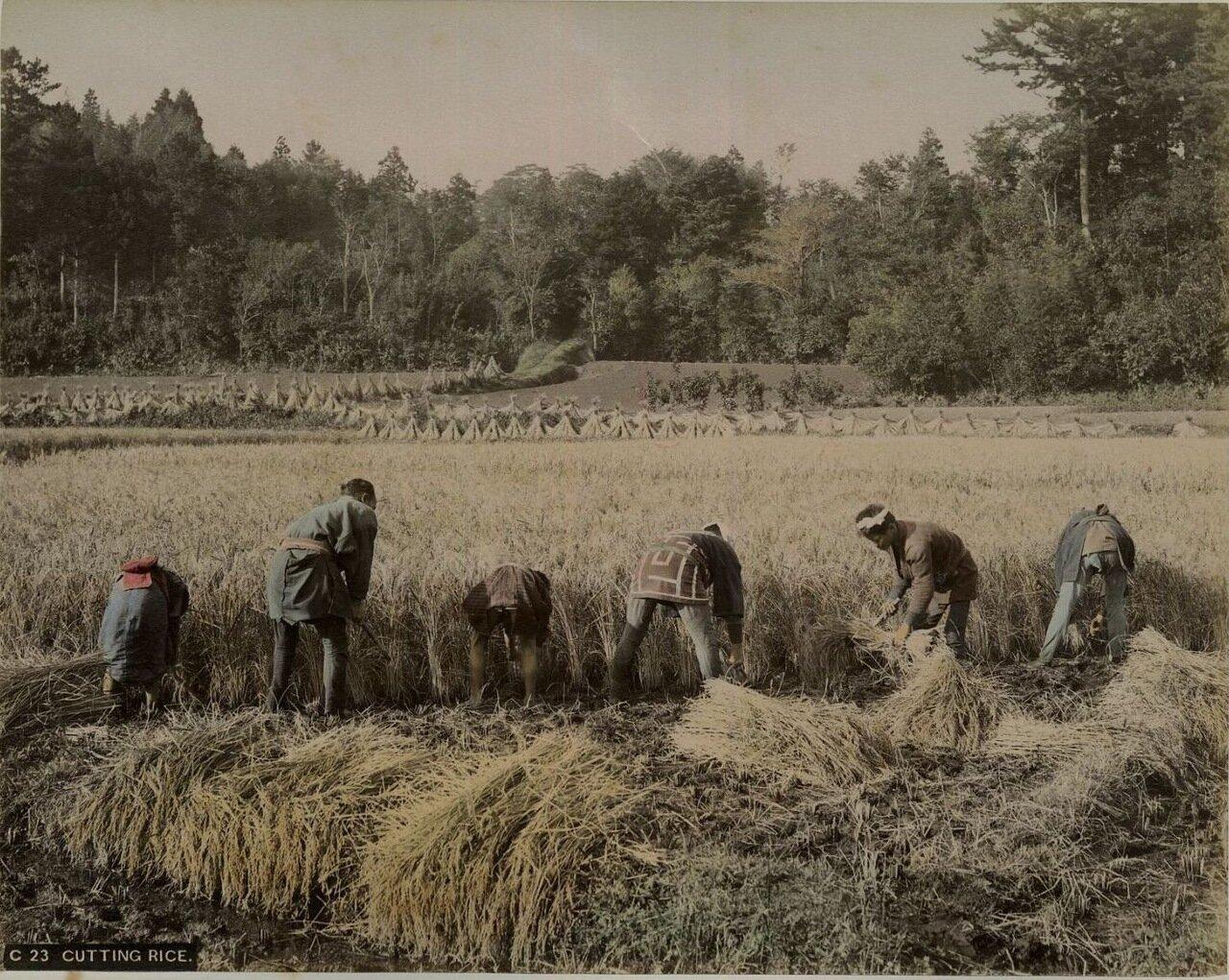 Уборка риса