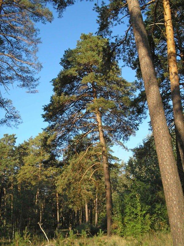 сосновый лес фото