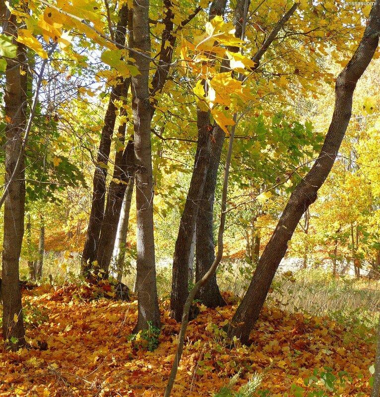 Золотая осень в городе Коувола.