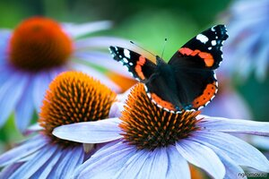 На осенних цветах (бабочка, цветок)