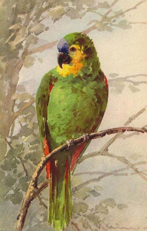 К. Кляйн. 20. Зелёный попугай.