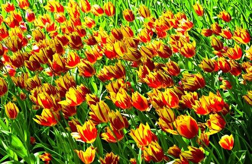 тюльпаны голландия
