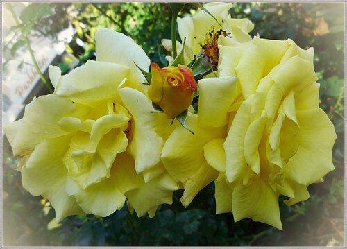 Голуба роза
