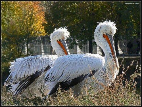Синхронное пеликанирование