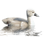 LU_GraphicDream_Swan_02.png