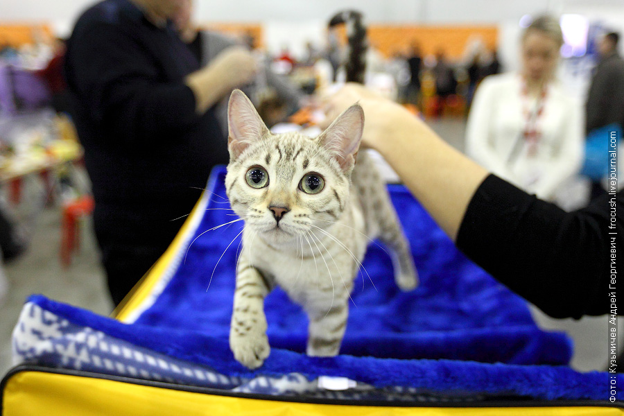 Бенгал Окрас минк фотографии выставка кошек гран при Royal Canin