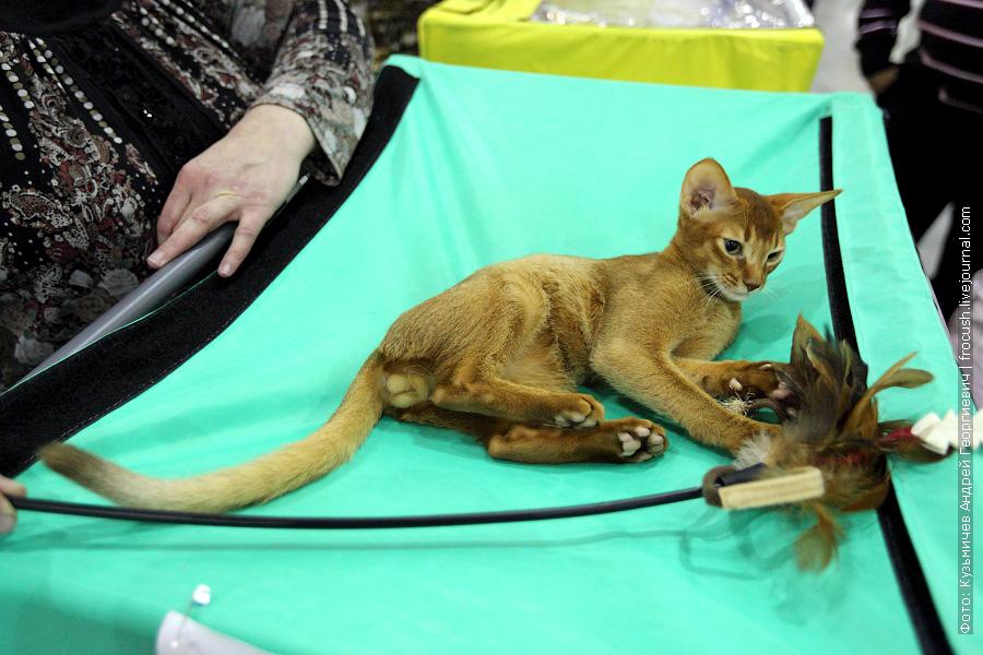 фотографии выставка кошек Абиссинская