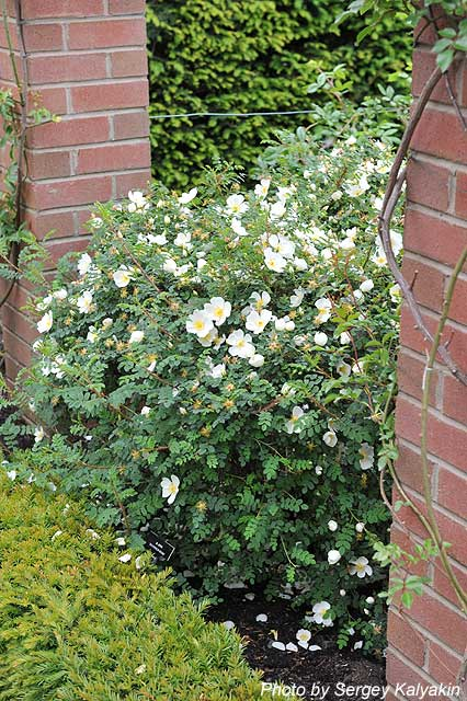 Rosa spinosissima Dunwich Rose (8).JPG
