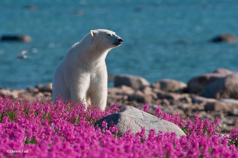 Белые медведи не в снегу, но в цветах: такого вы еще не видели (12 фото)