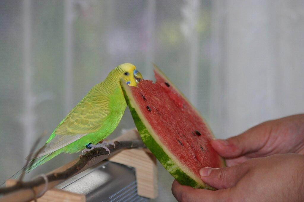 Картинки по запросу кормление попугаев