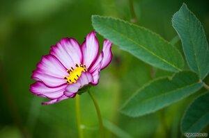 Цветок (космея, лист, цветок)
