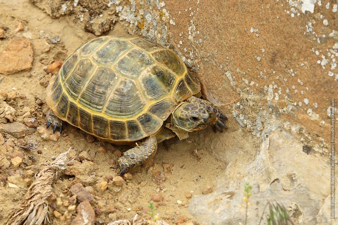 казахская черепаха на Мангышлаке