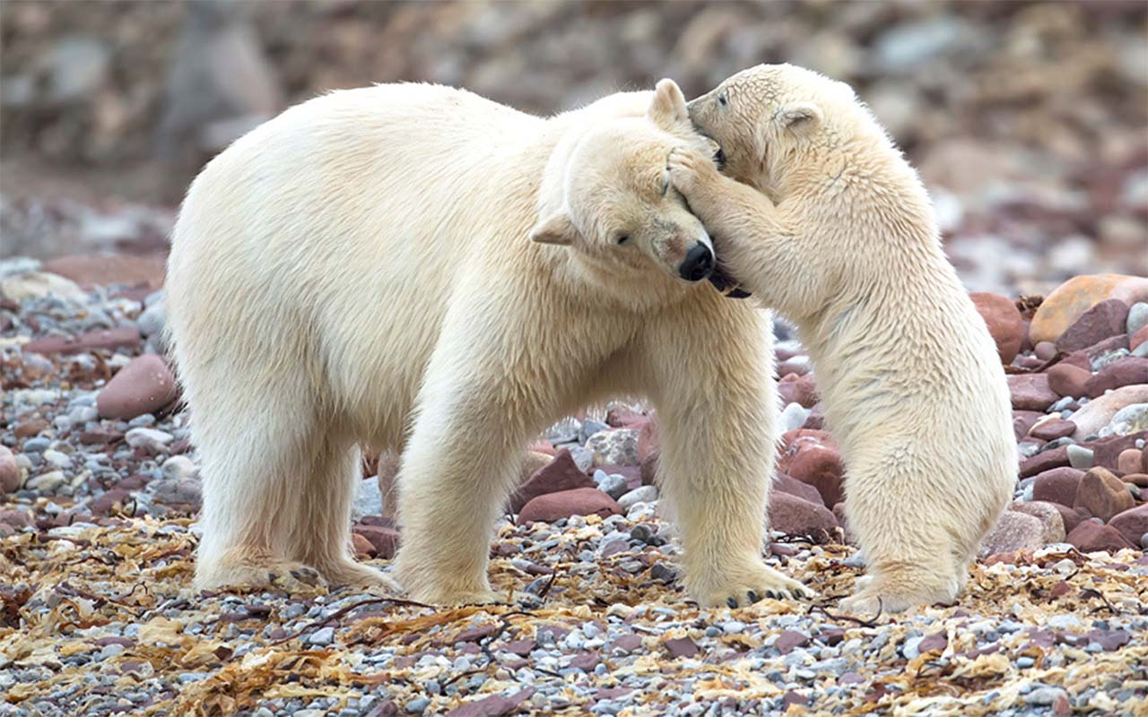 A cute polar bear cub whispers into its mother's ear on a beach on the Norwegian Arctic island of Svalbard