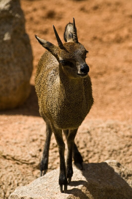 Антилопа-прыгун, или клипшпрингер