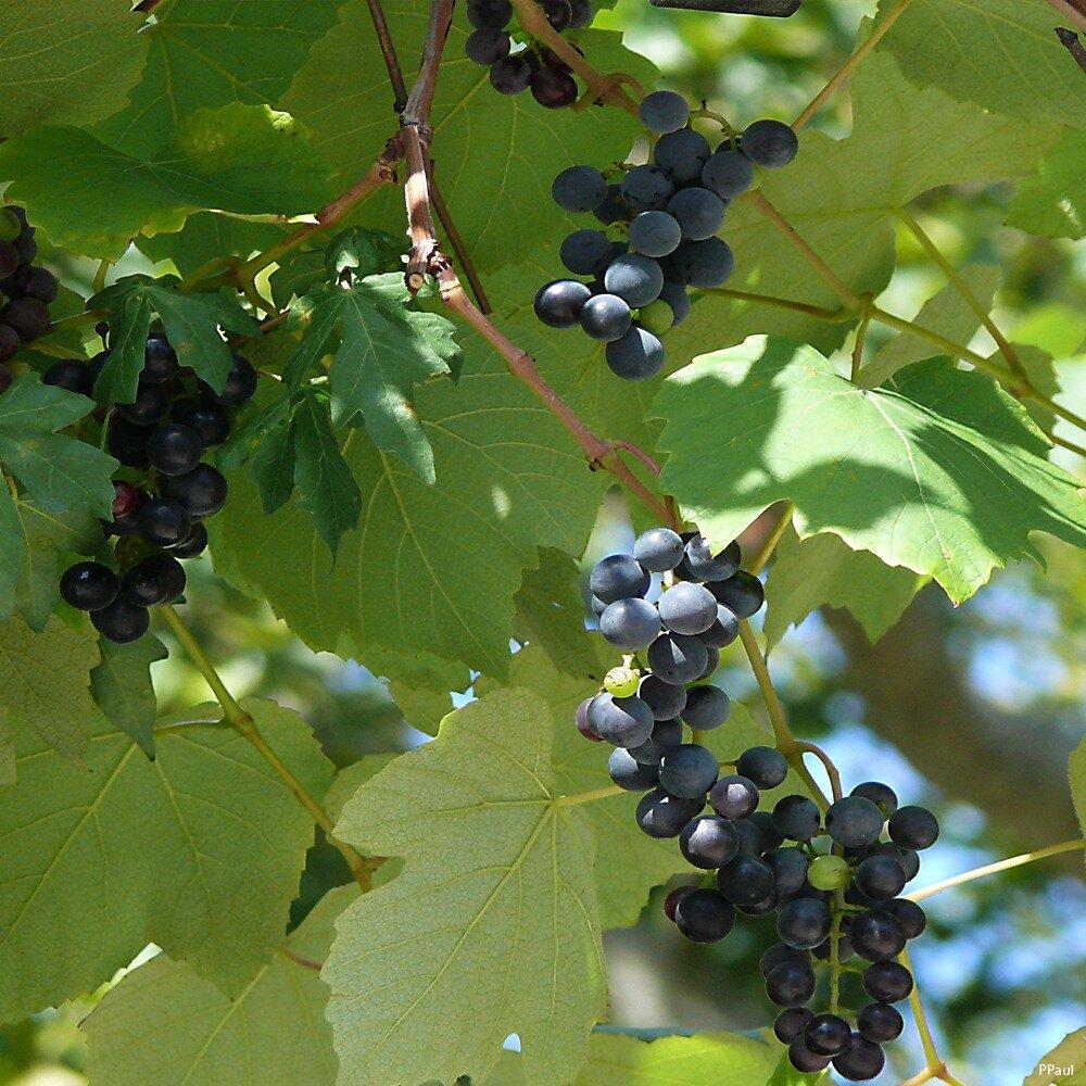 STADTPARK, многочисленные беседки увиты виноградом....