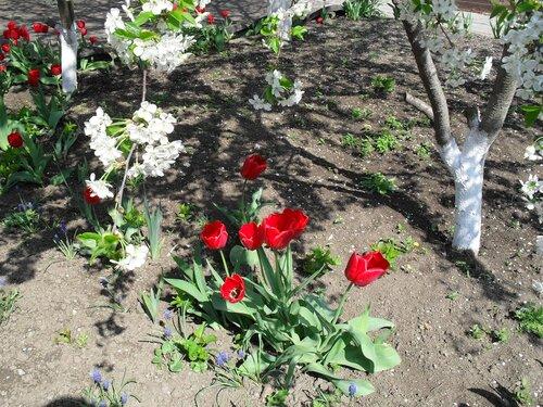 Апрельский тюльпановый рай...